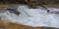 B.C. restaurants remove local salmon from the menu