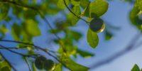 Trend Watch: Calamansi, fennel pollen, fiddlehead